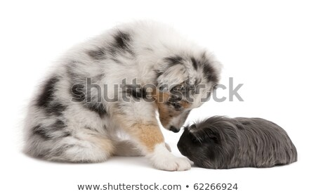 adorable black and brown guinea pig looking to side Stock photo © feedough