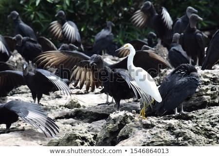 Black Vulture In Sumidero Canyon Mexico Stock photo © THP