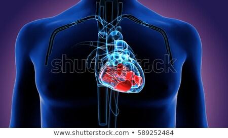 cardiologie · cardiovasculaire · hart · menselijke · bloed · gezondheid - stockfoto © lightsource