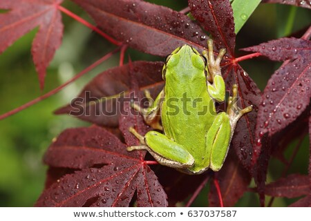 tree frog on japanese maple leaf Stock photo © taviphoto