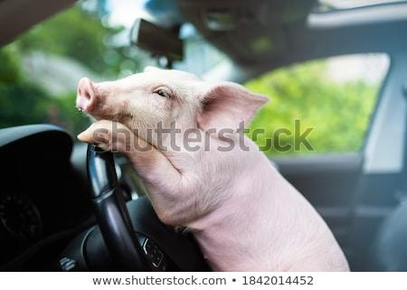 Sarhoş küçük domuz karikatür örnek bakıyor Stok fotoğraf © cthoman