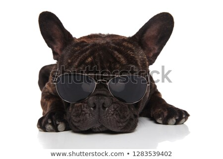 adorable french bulldog wearing sunglasses rests and looks down Stock photo © feedough
