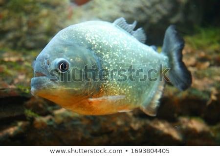 Piranha aquário natureza fundo beleza Foto stock © galitskaya