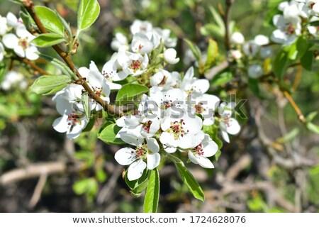 armut · ağaç · beyaz · çiçekler · çiçek · yeşil · bahar - stok fotoğraf © vapi