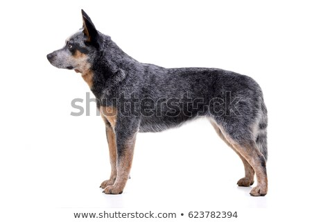 Aanbiddelijk australisch vee hond permanente Stockfoto © vauvau