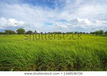 Kos legelő fehér fekete férfi birka Stock fotó © Elenarts