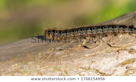 Eastern Tent Caterpillars Stock photo © macropixel