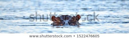 Hipopótamo África terreno água animal Foto stock © chris2766