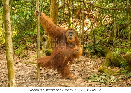 wild orangutan Stock photo © smithore