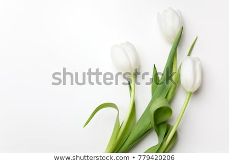 White Tulips Stock photo © iko