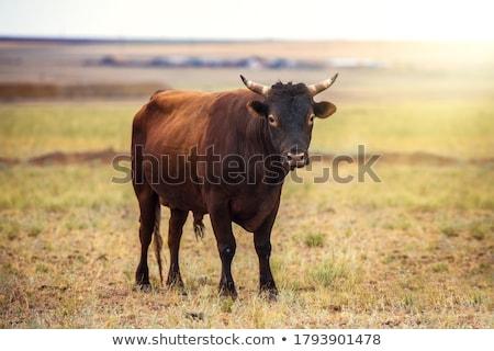 Dangerous looking Bull Stock photo © tepic