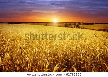 puesta · de · sol · verde · brillante · creciente · campo - foto stock © velkol