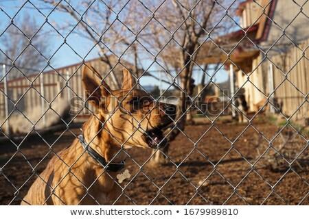 őrkutya mögött kerítés fehér labrador retriever ősz Stock fotó © ivonnewierink