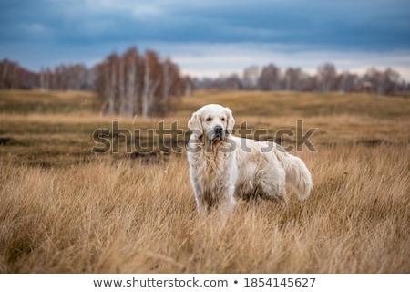 Fekete labrador retriever kutyakölyök hónapok öreg kék Stock fotó © silense