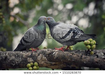 Galambfélék csók kettő jó idő nyár Stock fotó © kyolshin