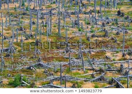lasu · zniszczony · kory · beetle · huragan · uszkodzony - zdjęcia stock © ondrej83
