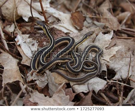 garter snakes stock photo © brm1949