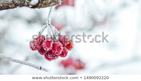 Jagody śniegu lasu charakter zimą christmas Zdjęcia stock © g215