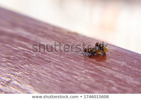 copulation flies Stock photo © stepstock