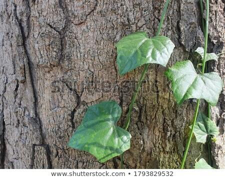Stock photo: green Coccinia grandis with bark