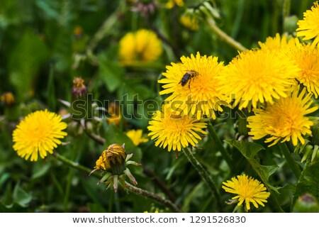 abelha · dandelion · vespa · flor · grama · verão - foto stock © thomaseder