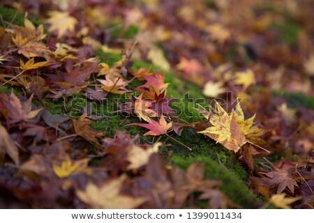 Autumn leaf on moss Stock photo © ondrej83