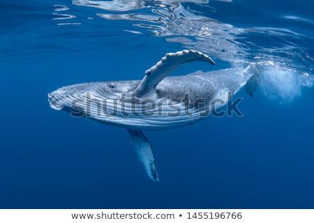 okyanus · etrafında · üzerinde · su · yüzeyi · izlerken · yaban · hayatı - stok fotoğraf © wolterk
