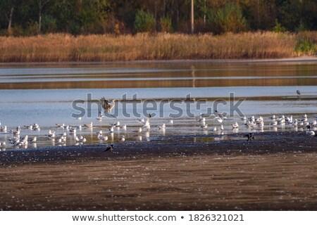 Grey-Headed Gull landing Stock photo © davemontreuil