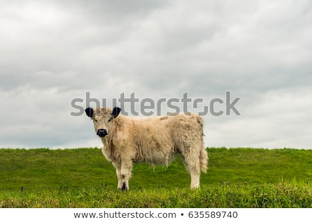 Stock photo: Galloway cattle standing in the meadow