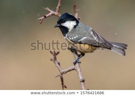 Carbone tit ramo uccello piedi natura Foto d'archivio © Elenarts