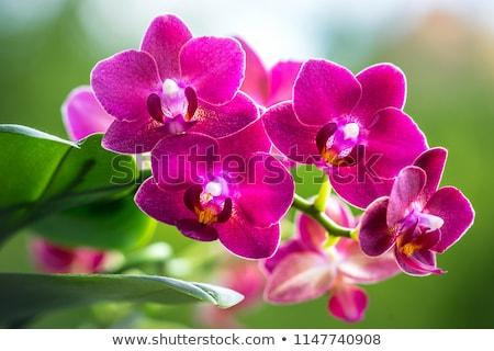 Beautiful purple phalaenopsis flowers Stock photo © Peredniankina