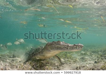 американский крокодила Ложь банка воды зубов Сток-фото © OleksandrO