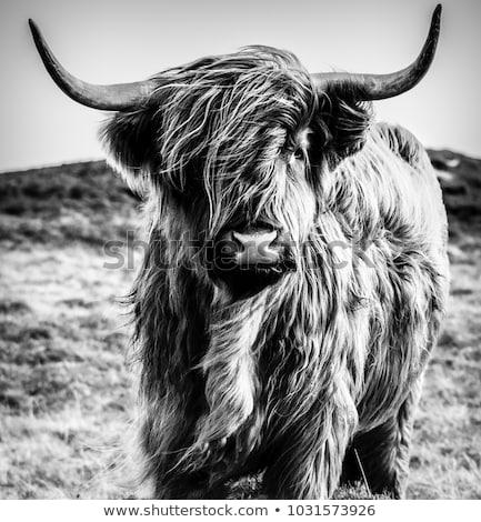Up Close Portrait of a Buffalo Stock photo © JFJacobsz