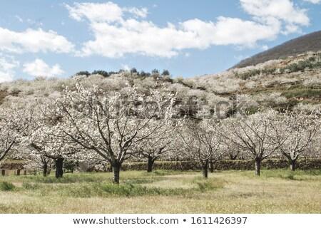 ekolojik · kiraz · beyaz · taze · kalp · arka · plan - stok fotoğraf © photooiasson