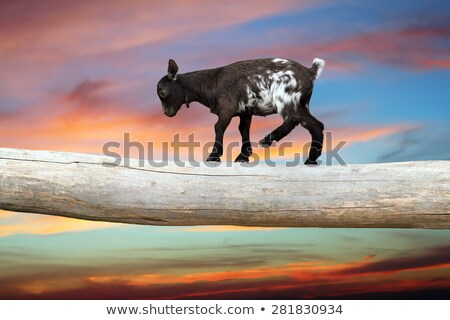 young goat  showing equilibrium on a clog Stock photo © taviphoto