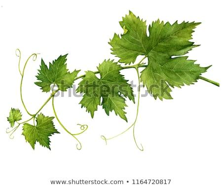 Asma yaprakları kadar şarap meyve Stok fotoğraf © Koufax73