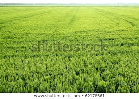 Mezőgazdaság rizsföld nézőpont Spanyolország Valencia rizs Stock fotó © lunamarina
