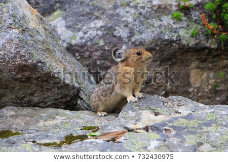 Tiny furball cutie. Stock photo © lithian