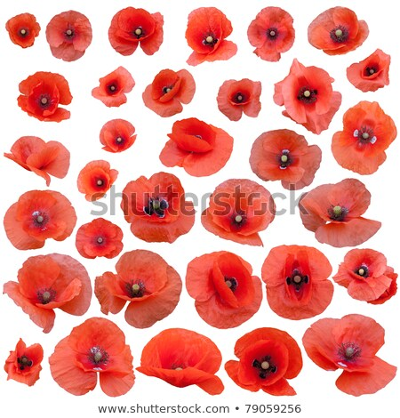 Big Red Poppies Stock photo © zhekos