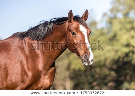 brown horse white head stock photo © doddis