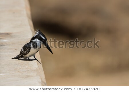 Pied Kingfisher sitting on a bridge in the Kruger. Stock photo © simoneeman