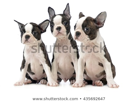 Three Puppy Boston terrier in a white photo studio stock photo © vauvau