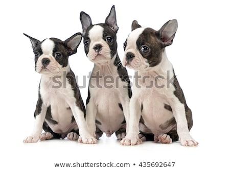 three puppy boston terrier in a white photo studio stock photo © vauvau