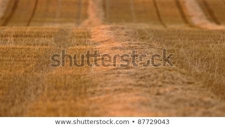 Saskatchewan · gazda · búza · termény · mező · ősz - stock fotó © pictureguy