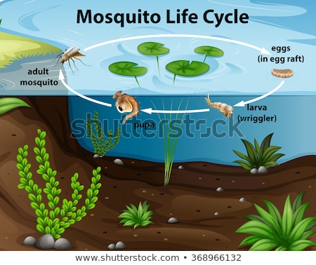 life cycle of mosquito in the pond stock photo © bluering