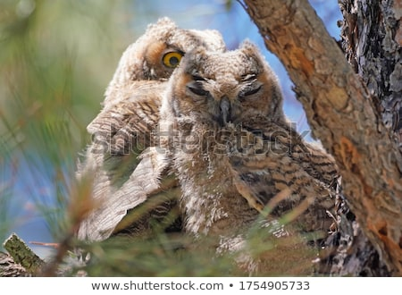 Two Great Horned Owl fledglings perched on branch Stock photo © pictureguy