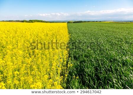 Field of Colza and Wheat Stock photo © SRNR