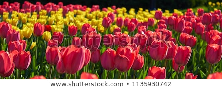 field of red and yellow tulips in holland Stock photo © compuinfoto
