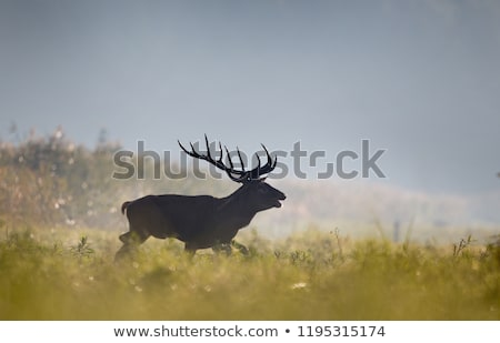 red deer in natural habitat mating season stock photo © taviphoto