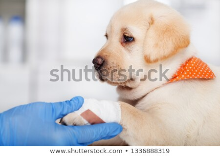 Closeup of puppy dog with bandage on its paw in the hands of vet Stock photo © ilona75